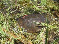 link to image turtle_in_tenmile_creek_img_0981.jpg