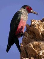 link to image woodpecker_lewis_melanerpes_lewis_bobmiller_southwestbirderscom_009_07s.jpg